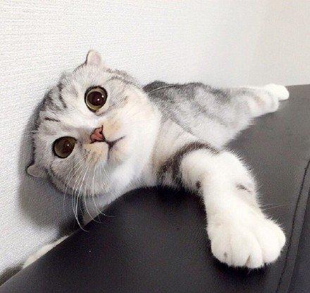 """喵星人,可爱,另类图片:一岁大的折耳猫 """"hana"""""""