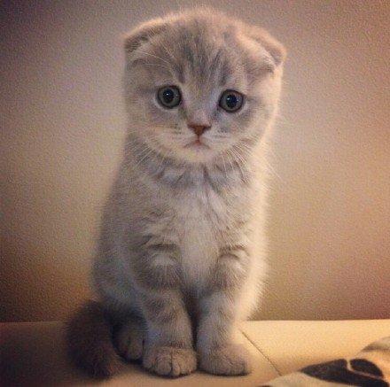 """可爱,喵星人,另类图片:苏格兰折耳猫 """" rini """""""