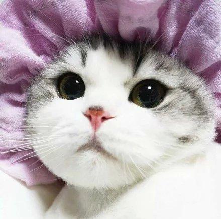 喵星人,另类图片:萌萌的折耳猫-可爱图片-七七空间