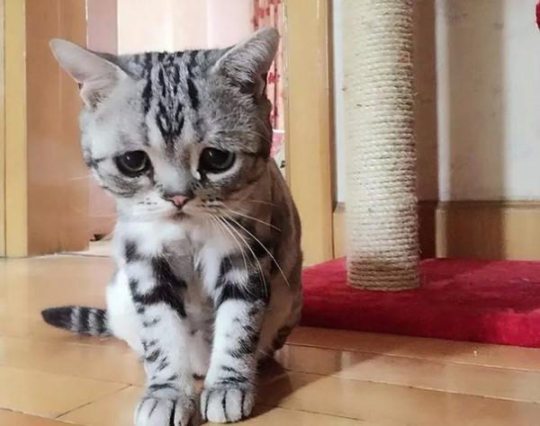 """可爱,喵星人,另类图片:""""委屈猫""""luhu走红,被萌哭_( Д"""