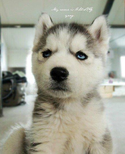 狗狗,可爱,搞笑,另类图片:一只哈士奇萌萌哒一生