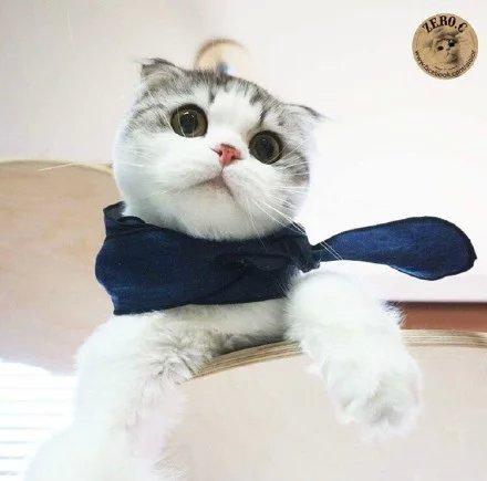 喵星人,另类图片:最萌折耳猫-可爱图片-七七空间