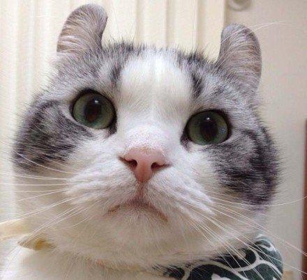 喵星人,另类图片:呆萌呆萌的卷耳大脸猫-可爱图片