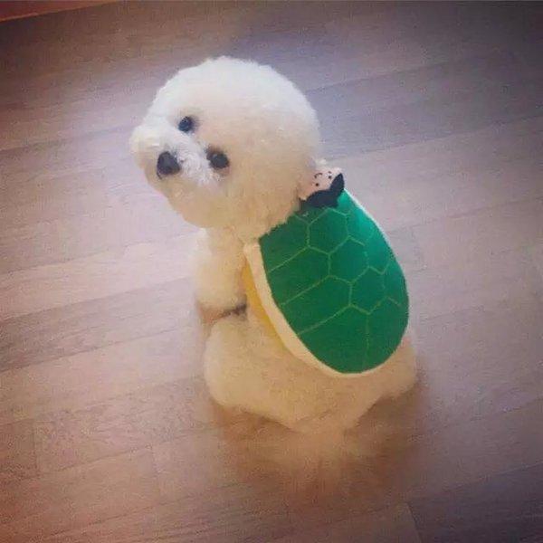 狗狗,另类图片:适合女生养的棉花糖小比熊-可爱图片