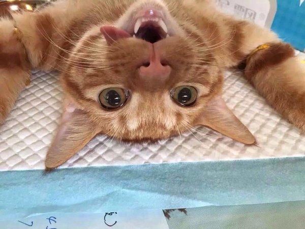 喵星人,可爱,搞笑,另类图片:猫咪绝育的照片