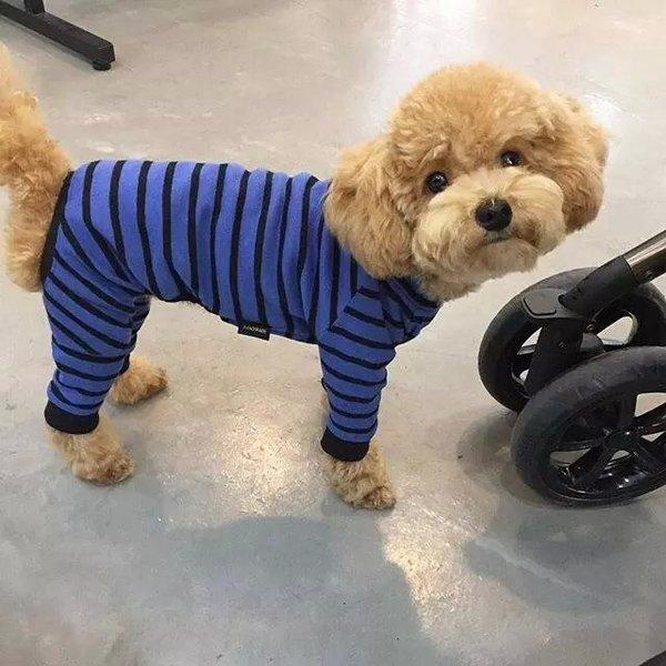 狗狗,可爱,单图,另类图片:最萌不过小泰迪