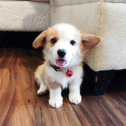 狗狗,可爱,另类图片:陈:小小柯基