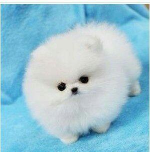 狗狗,单图,另类图片:超萌茶杯犬!