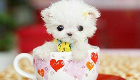 狗狗,单图,另类图片:超萌茶杯犬!-可爱图片-76钱柜