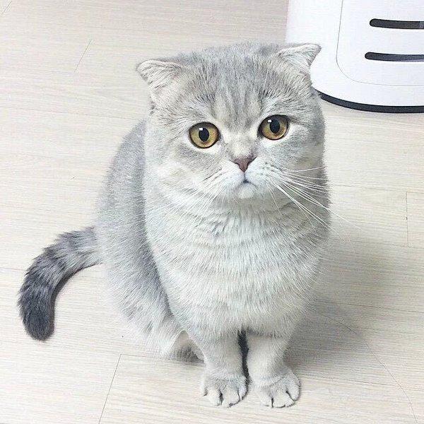 喵星人,可爱,另类图片:一只折耳猫
