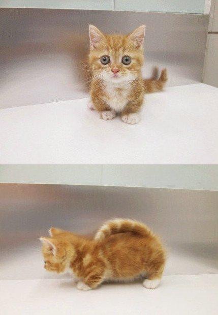 喵星人,可爱,另类图片:陈:9只全球最可爱小短腿喵