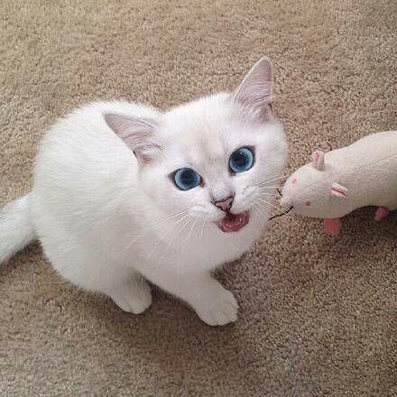 喵星人,另类图片:蓝眼小萌猫-可爱图片-76钱柜娱乐
