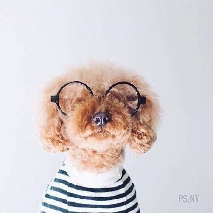 狗狗,可爱,另类图片:适合女生养的小泰迪