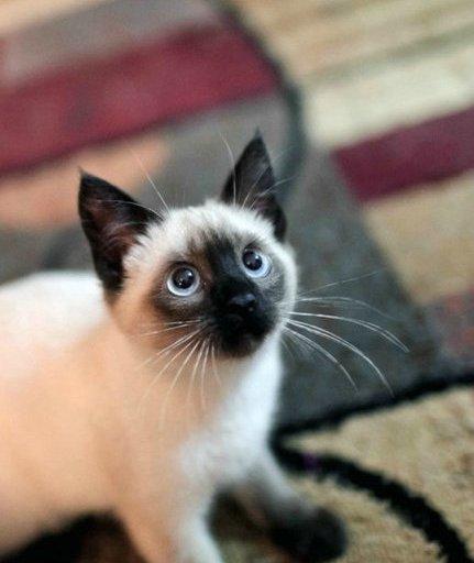 喵星人,搞笑,可爱,另类图片:暹罗猫——专注挖煤30年