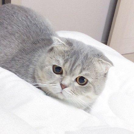 喵星人,可爱,另类图片:一岁半大的苏格兰折耳猫zara,萌出血了